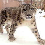 Northeast Precast Creates Home for Snow Leopards